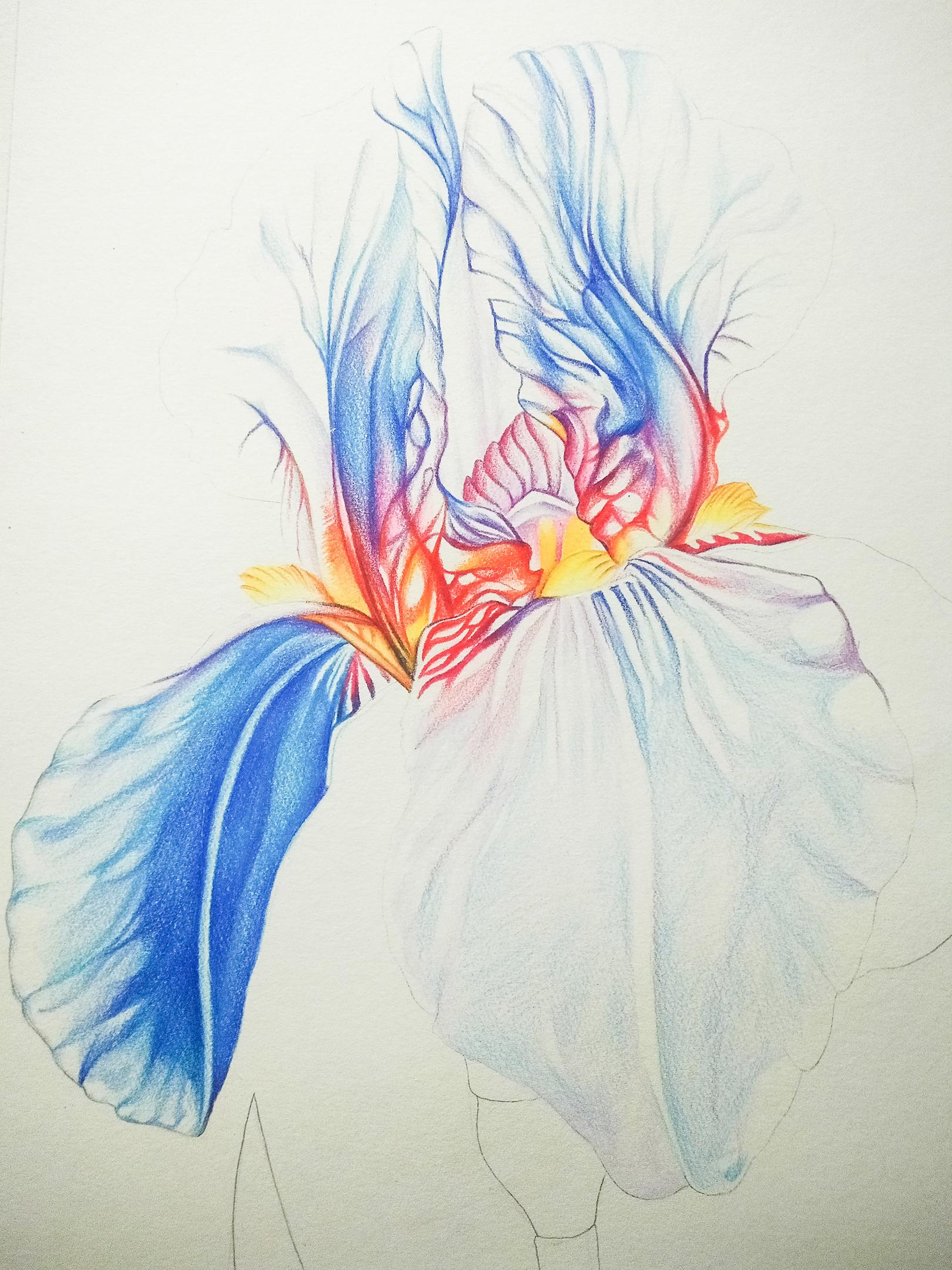 鸢尾花手绘过程|纯艺术|彩铅|风雨萧萧到谢桥 - 原创