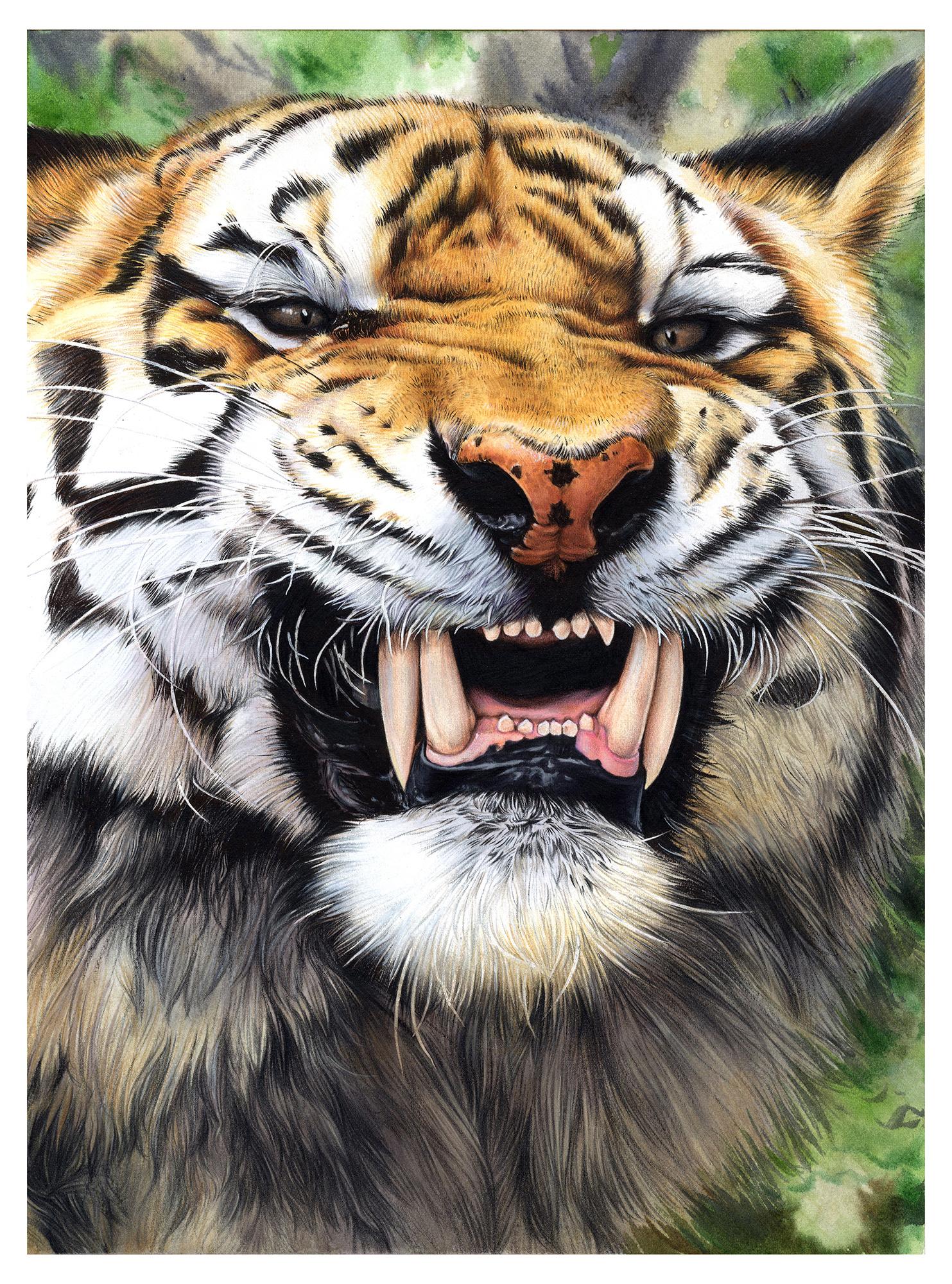 纸上彩铅--《虎》绘制过程