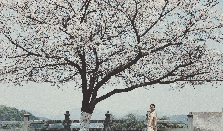 路边樱花树