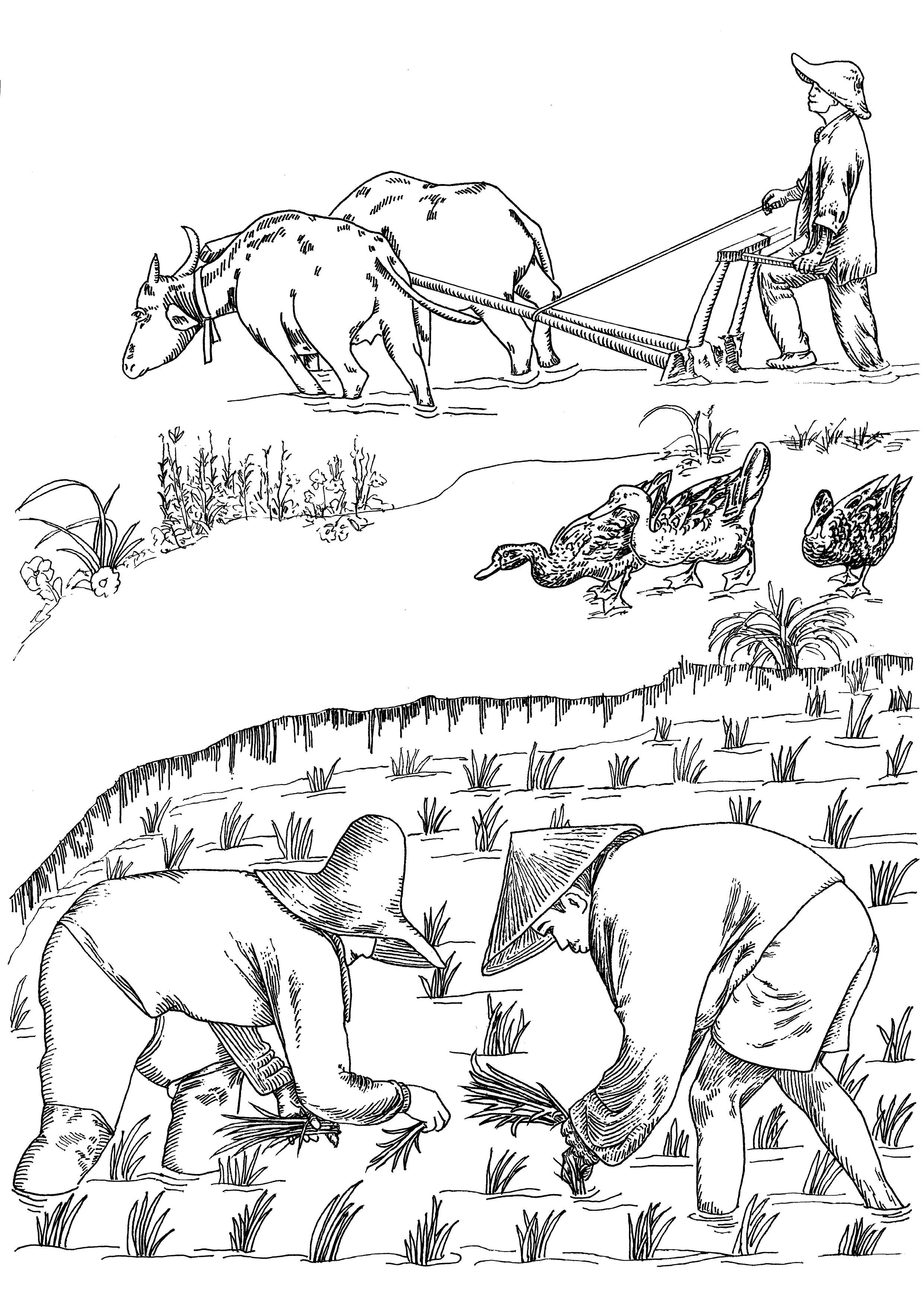 耕田 耕种 耕牛 稻田 鸭子图片