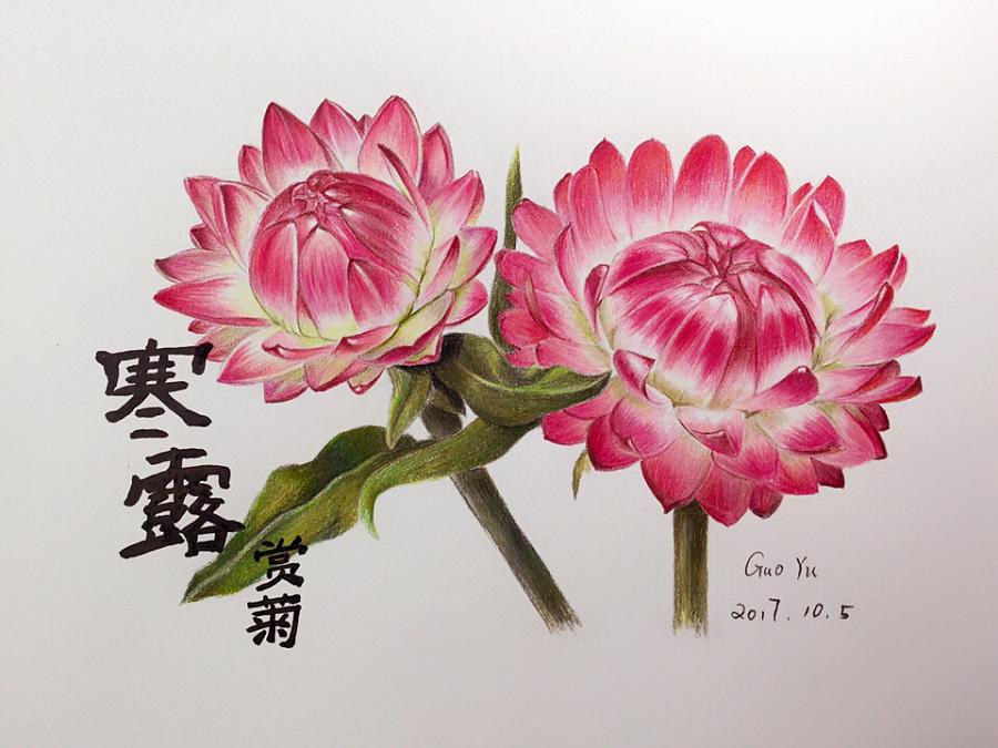 彩铅菊花手绘