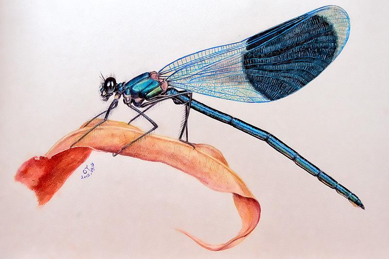 oy彩色圆珠笔画:蜻蜓