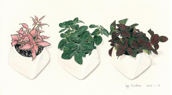 彩铅手绘—网纹草