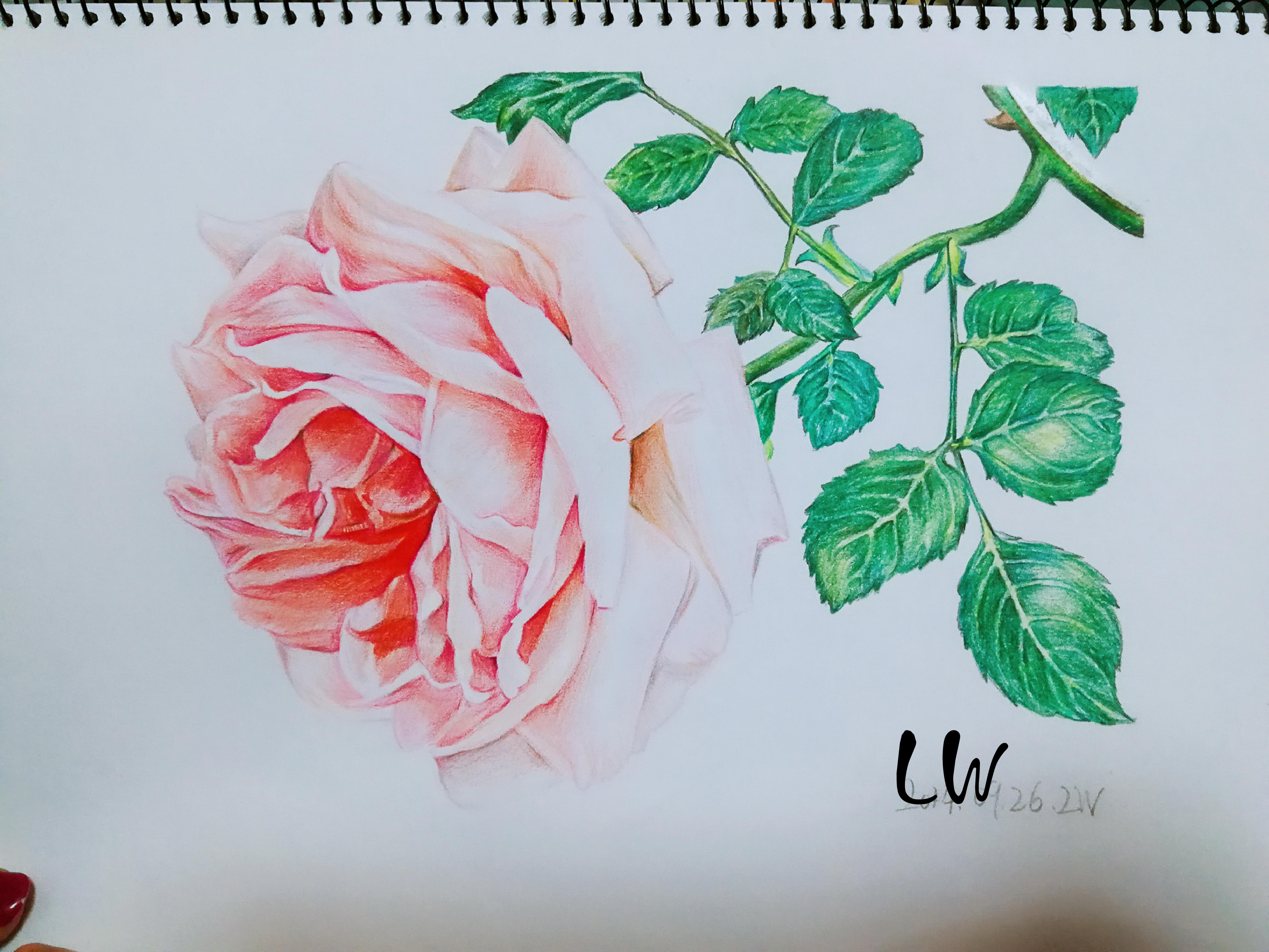 手绘彩铅花卉