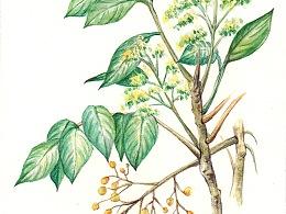 漆树专题配图(水彩)