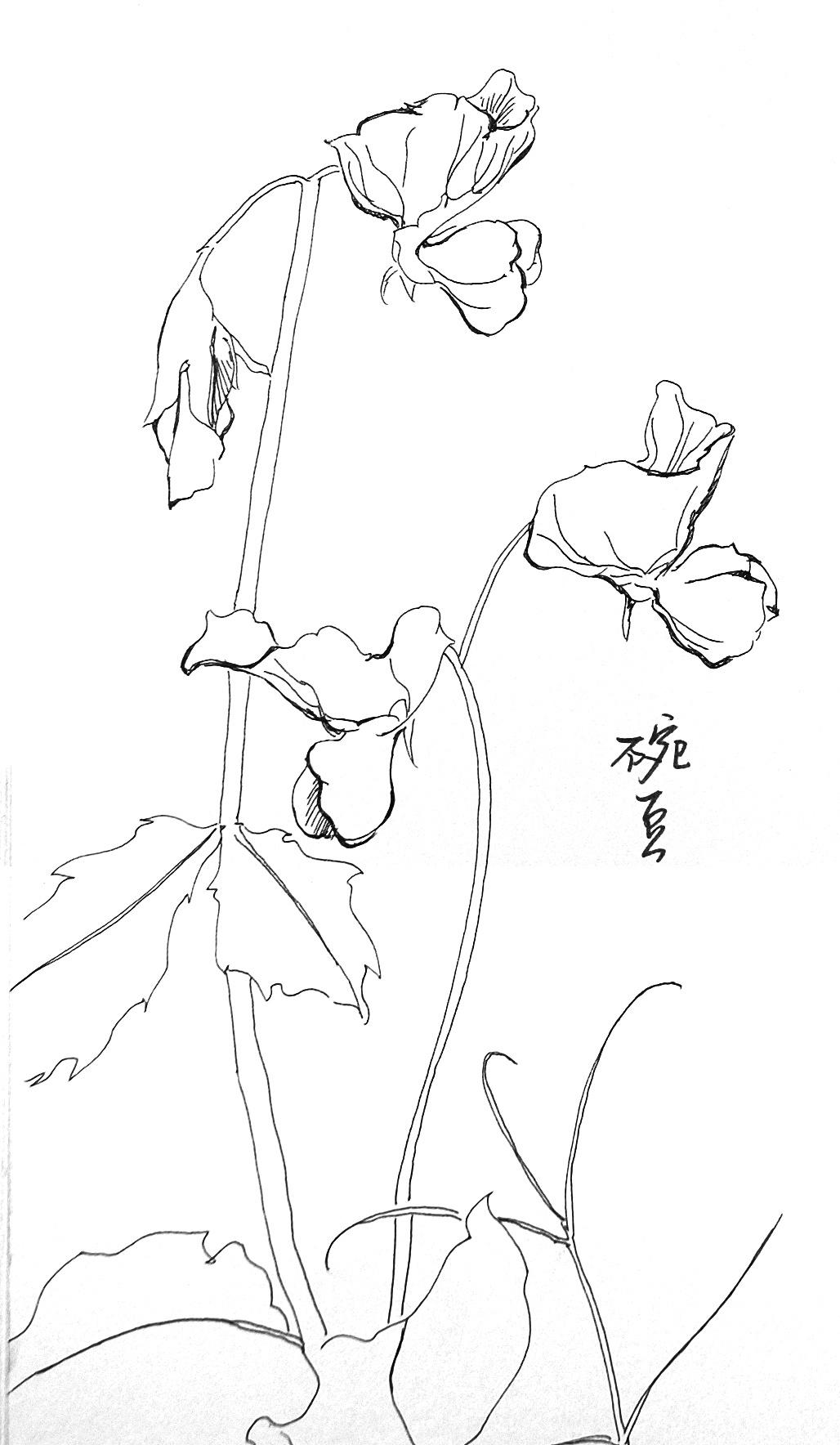 豌豆简笔画图片
