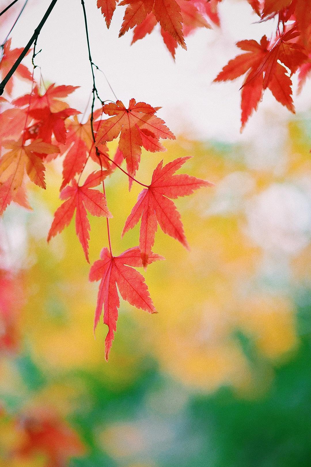 青岛崂山北九水 枫叶|摄影|人像|逆转时光 - 原创作品图片