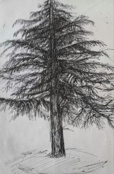 柏树手绘立面图