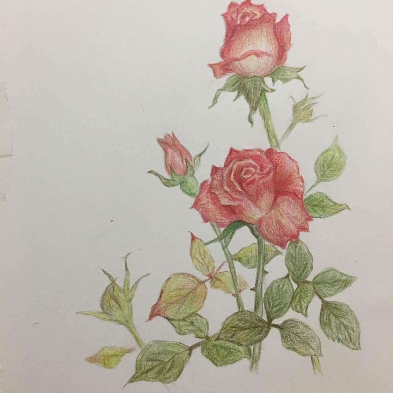 玫瑰|纯艺术|彩铅|尛雪花 - 原创作品 - 站酷 (zcool)