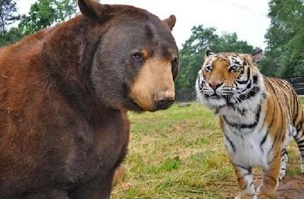 黑熊和老虎的相亲