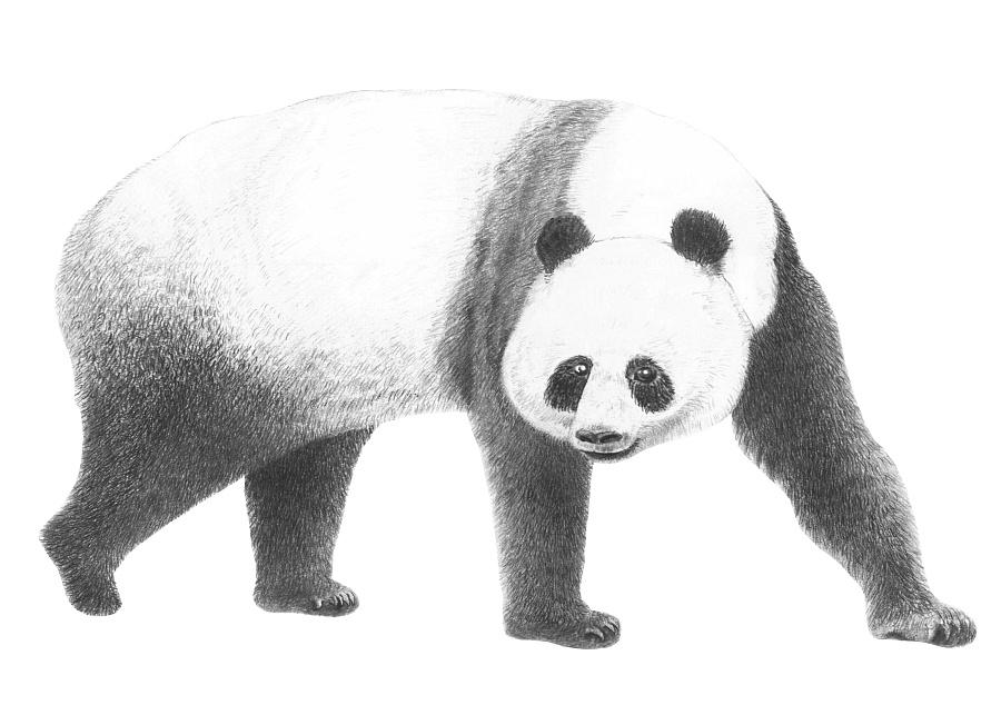 手绘-大熊猫|其他绘画|插画|胡忠苇