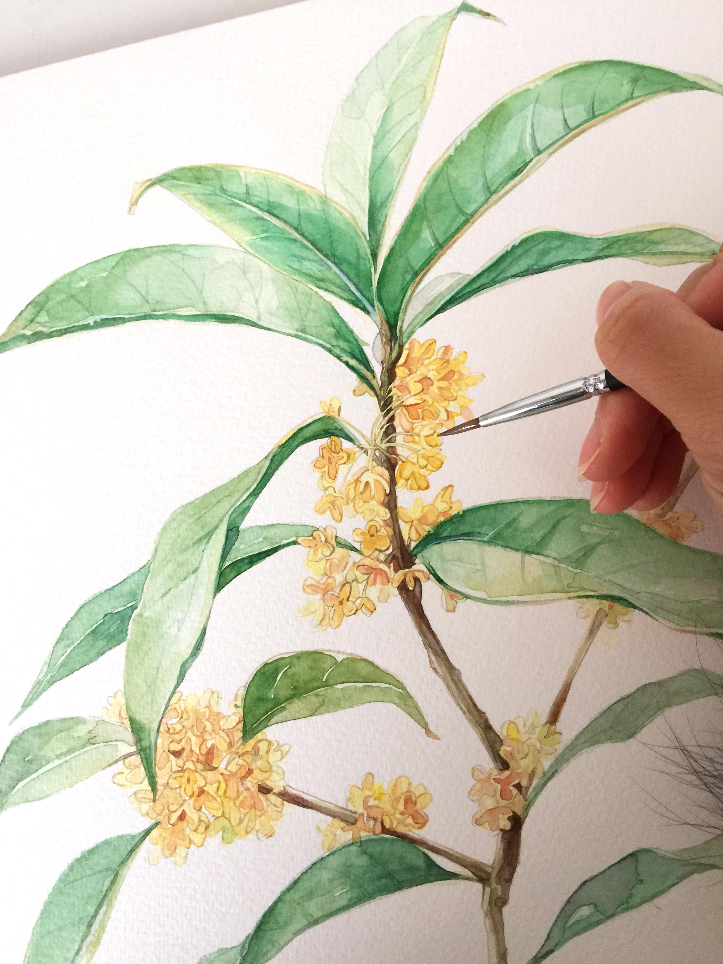 手绘水彩【桂花】植物系列绘画