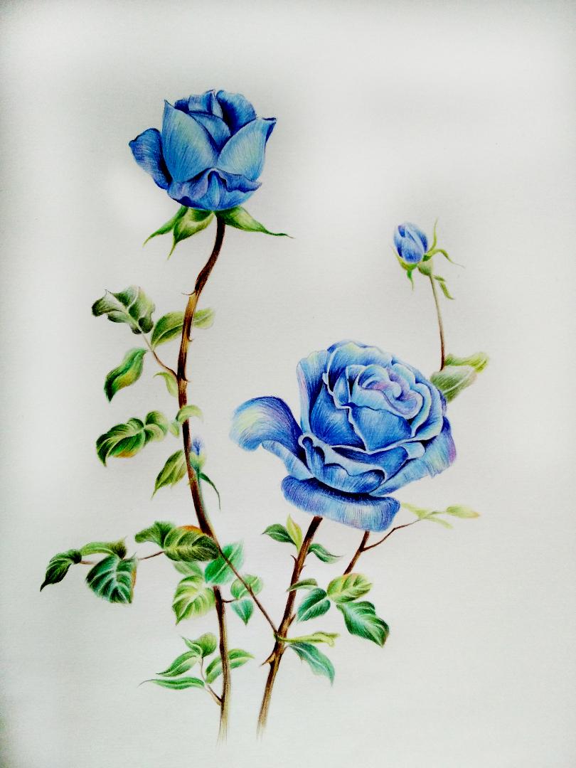 彩铅 蓝玫瑰 绘画 习作 插画 蚊小盛 原创设计作图片