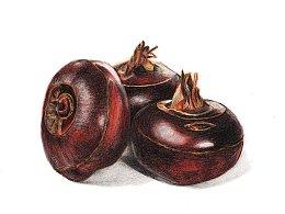 【驴大萌彩铅教程246】24节气水果手绘图鉴—立春荸荠