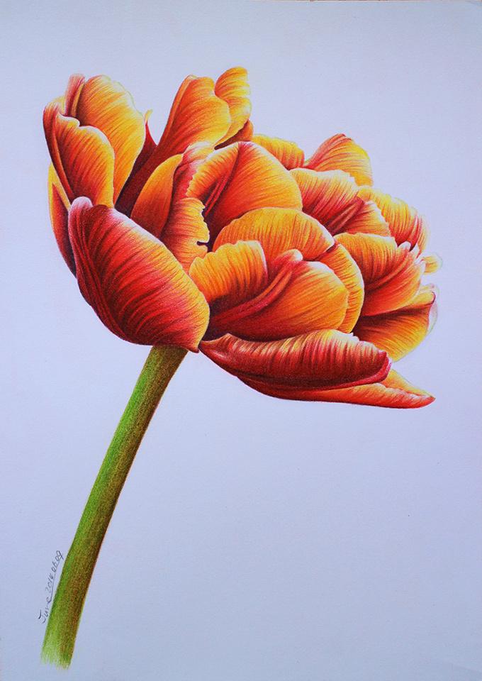 彩铅画花之郁金香