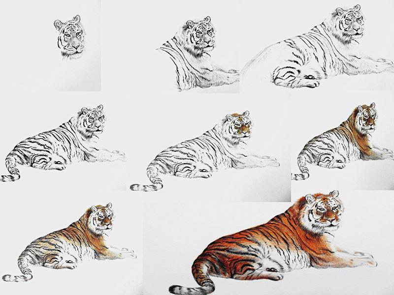 大型猫科动物. 虎