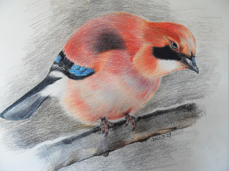 彩铅鸟类手绘——松鸦01