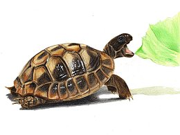 【驴大萌彩铅教程174】手绘可爱小动物 小乌龟