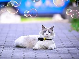 深圳宠物摄影-珀珀宠影之布偶猫