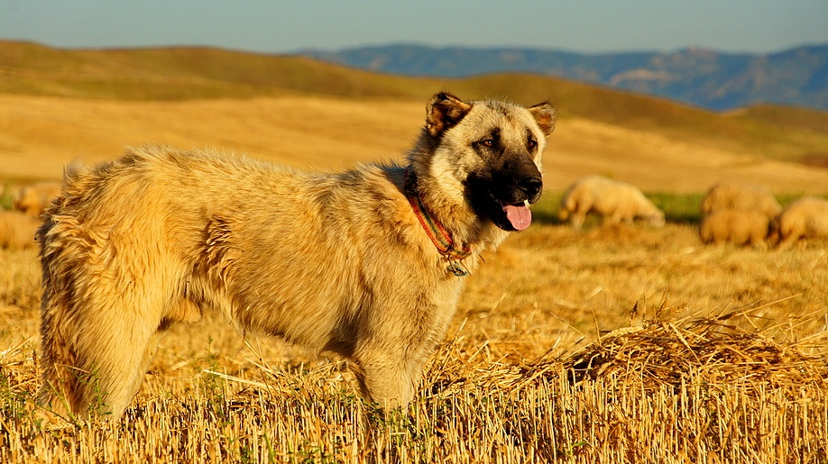 狗娃和二傻 骑行在土耳其的路上 骑驴记 土耳其牧羊犬