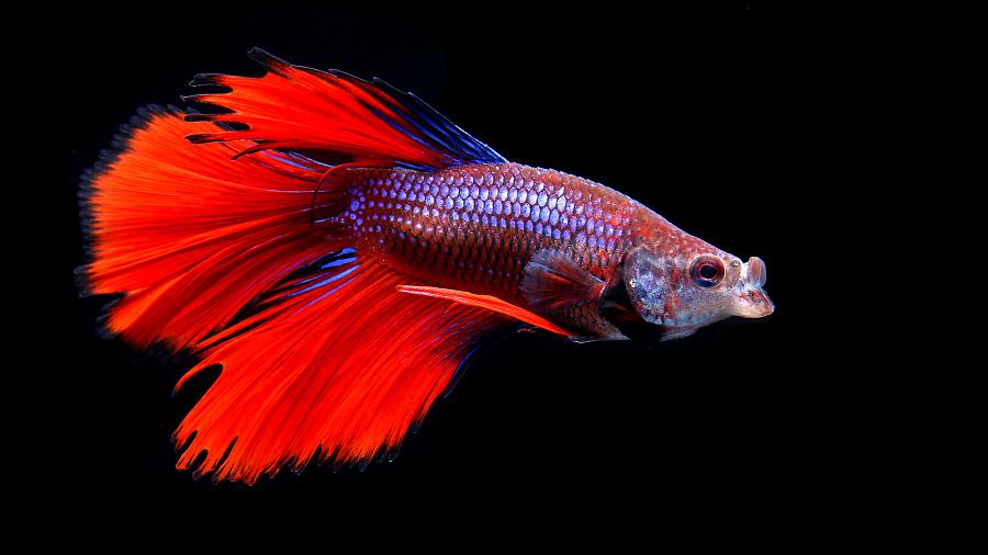 泰国.斗鱼 |宠物\/动物|摄影|小溪爱看大海 - 原创