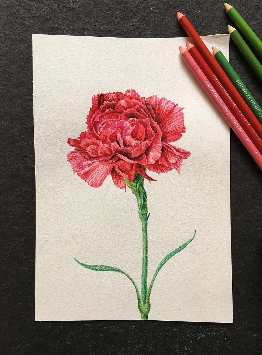 母亲节,彩铅一朵康乃馨