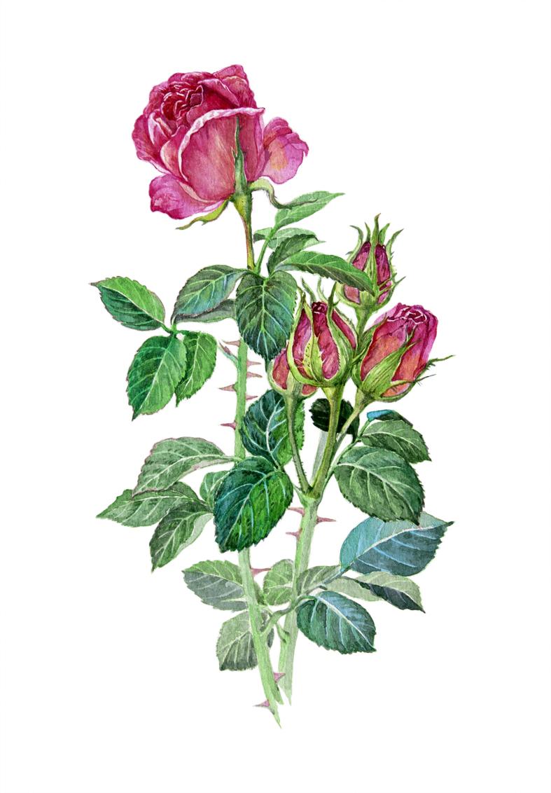 几种植物花卉的水彩画步骤 插画 商业插画 吉里