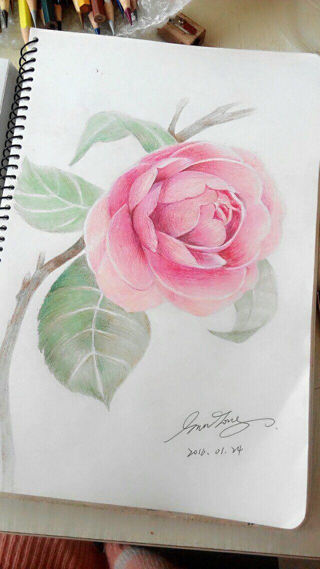 《临摹》彩铅——山茶花