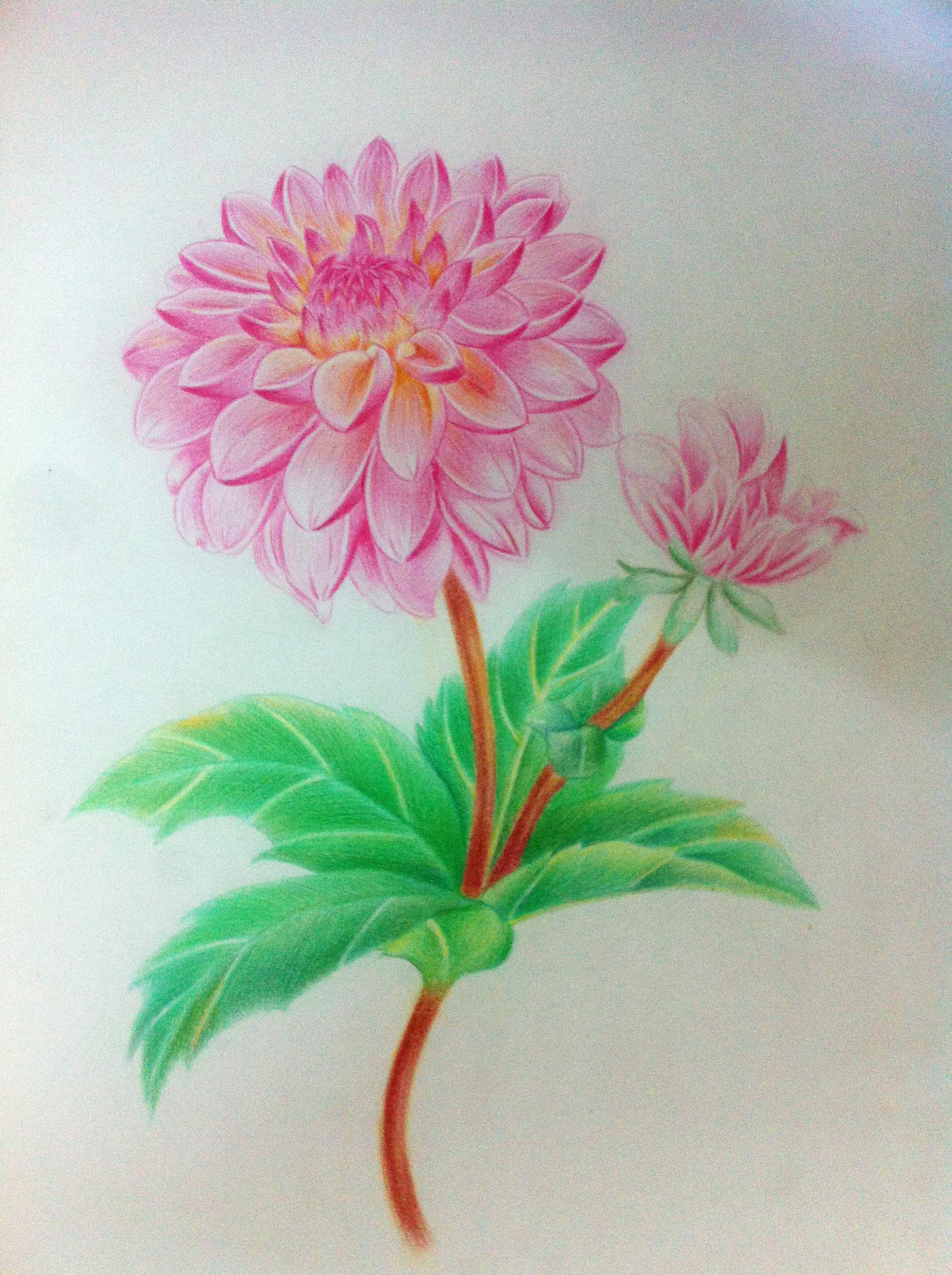 彩铅手绘花|插画|插画习作|邹千四 - 原创作品 - 站酷