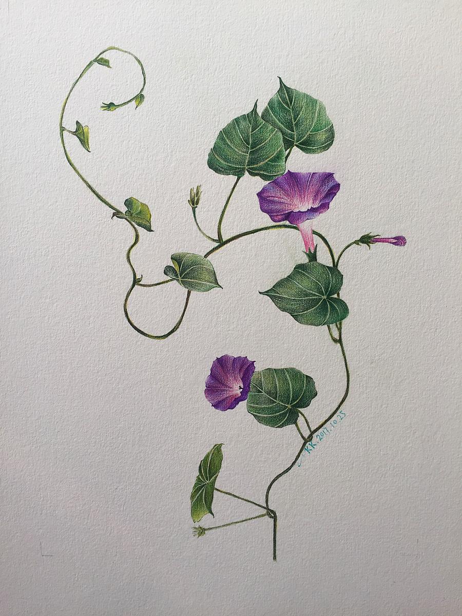 牵牛花 #手绘是一种信仰|彩铅|纯艺术|克里斯天天