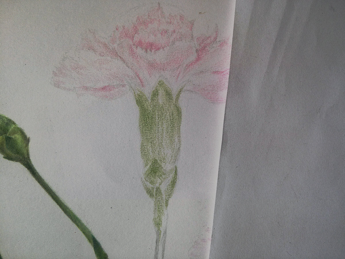 【wallpainter手绘工场】彩铅康乃馨