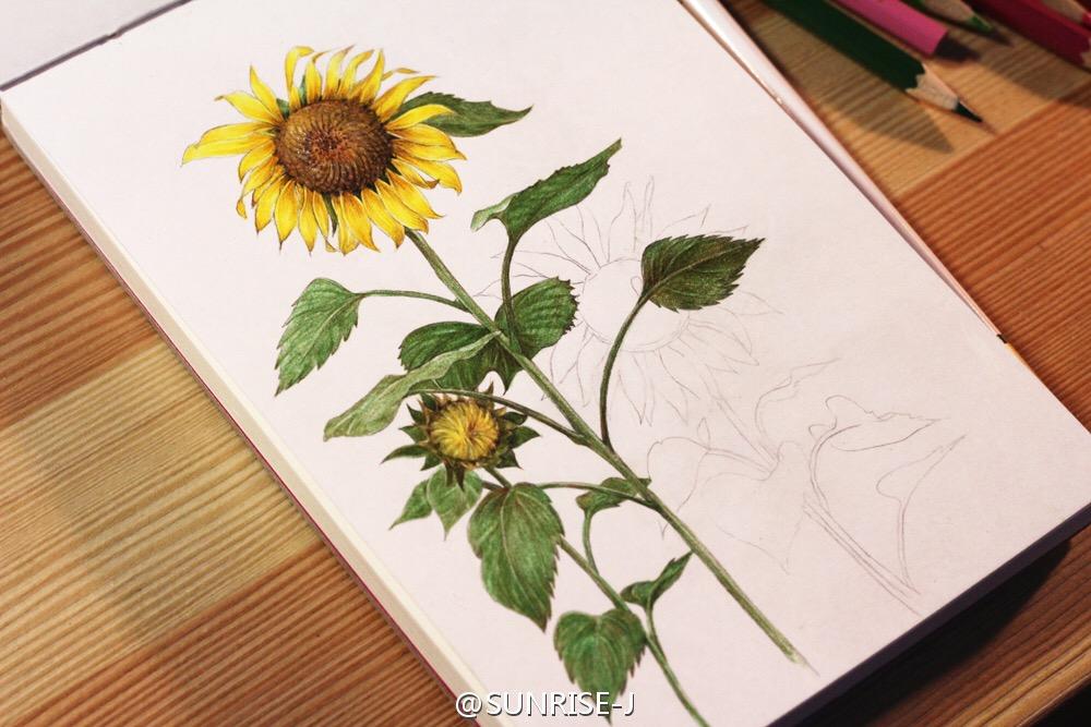 向日葵 彩铅手绘