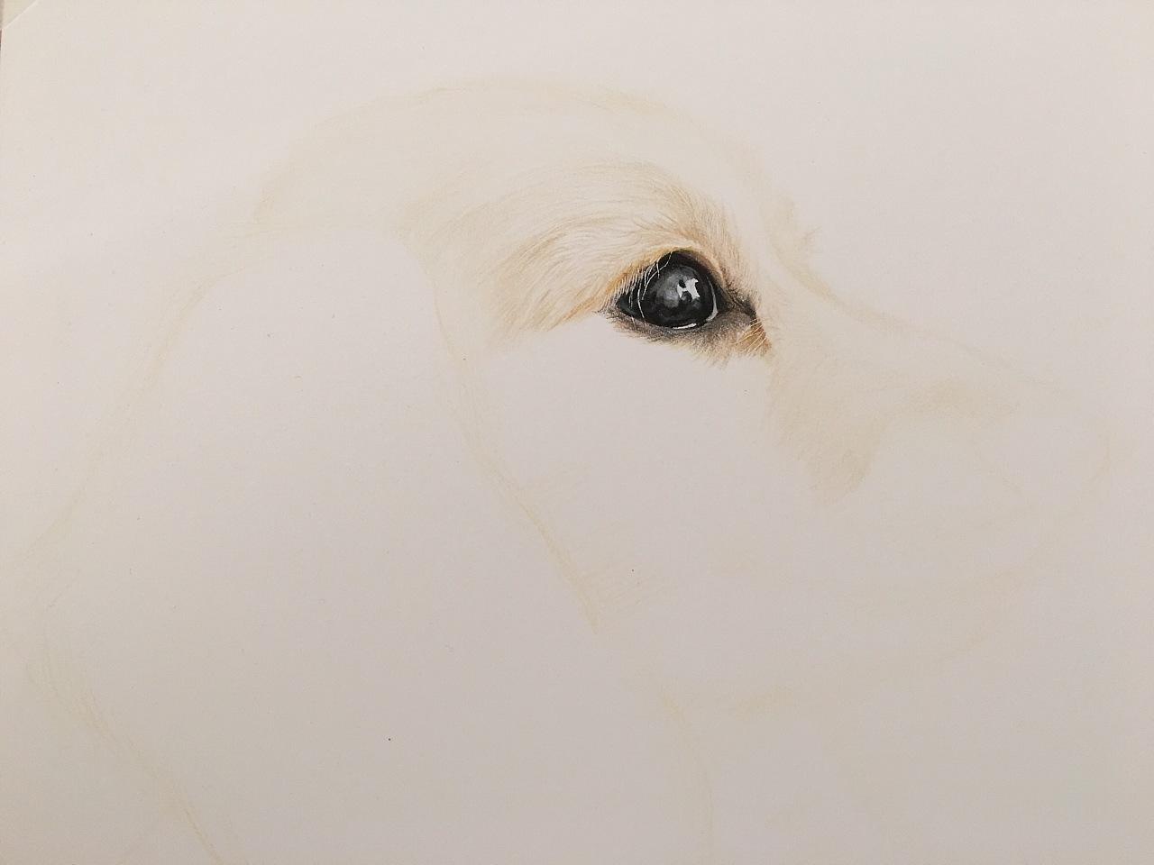 金毛-目鱼视觉彩铅手绘20170214