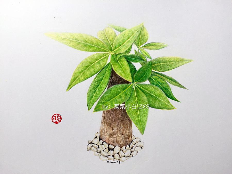彩铅手绘—发财树|彩铅|纯艺术|yescabbage - 原创
