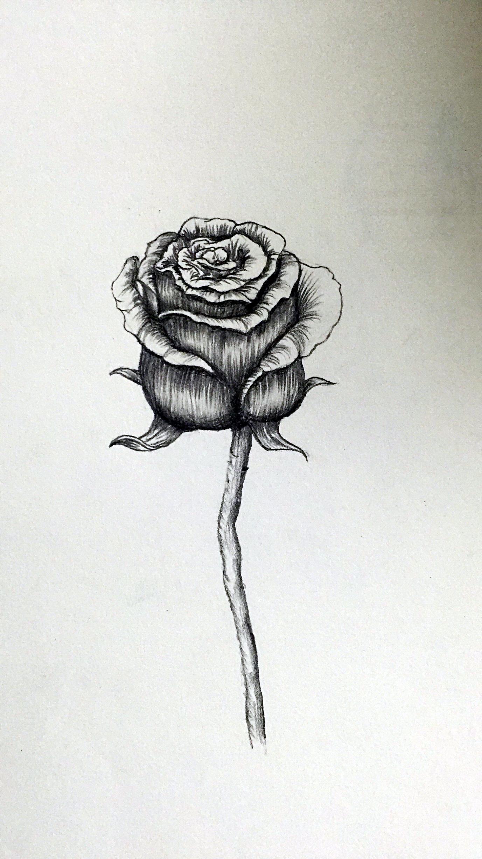 静物玫瑰花 黑色玫瑰 素描 |插画|插画习作|木子姗姗