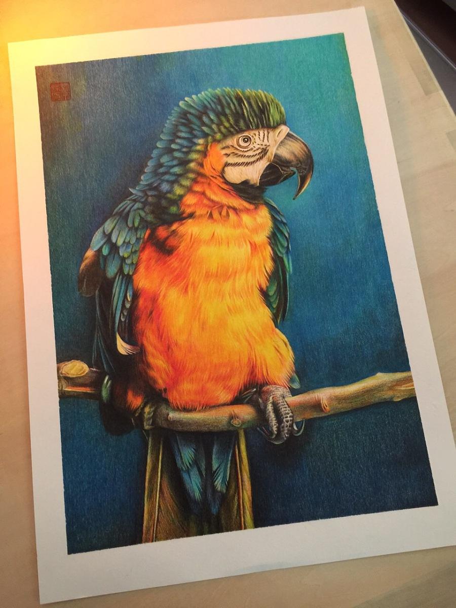 原创作品:彩铅鹦鹉 手绘插画