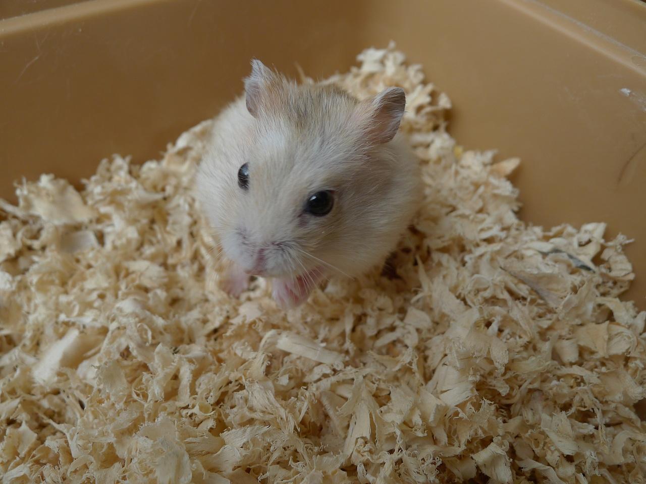 宿舍养的小仓鼠