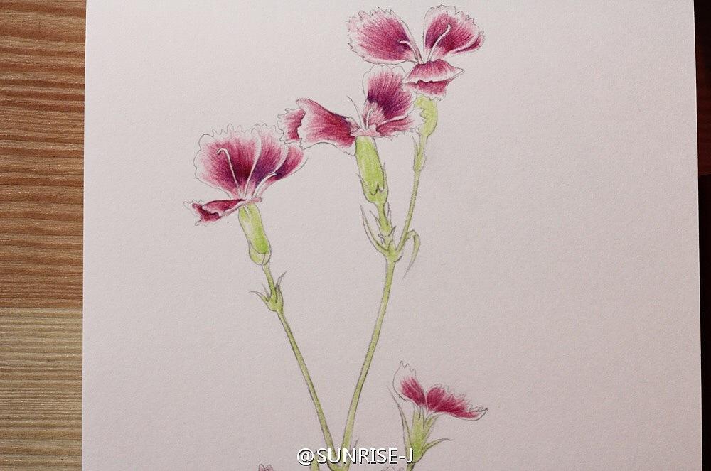 石竹花彩铅手绘