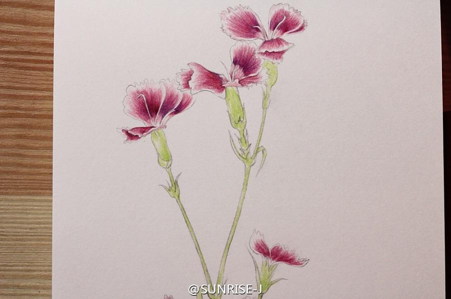 石竹花彩铅手绘|商业插画|插画|sunrise805 - 原创