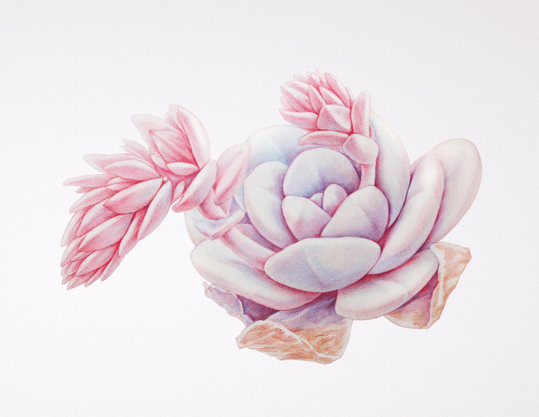 手绘多肉植物——《雪莲》