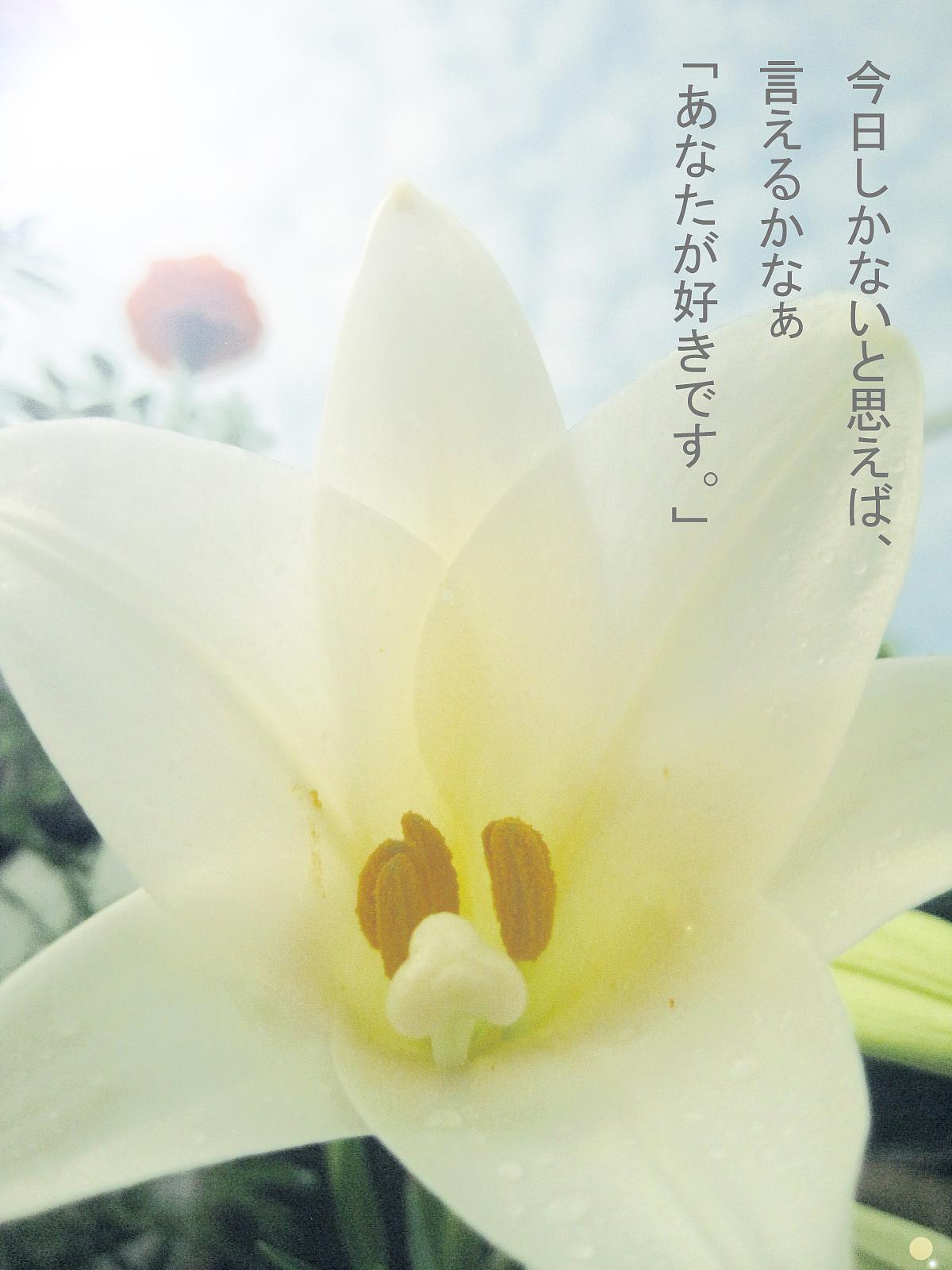 百合花 摄影