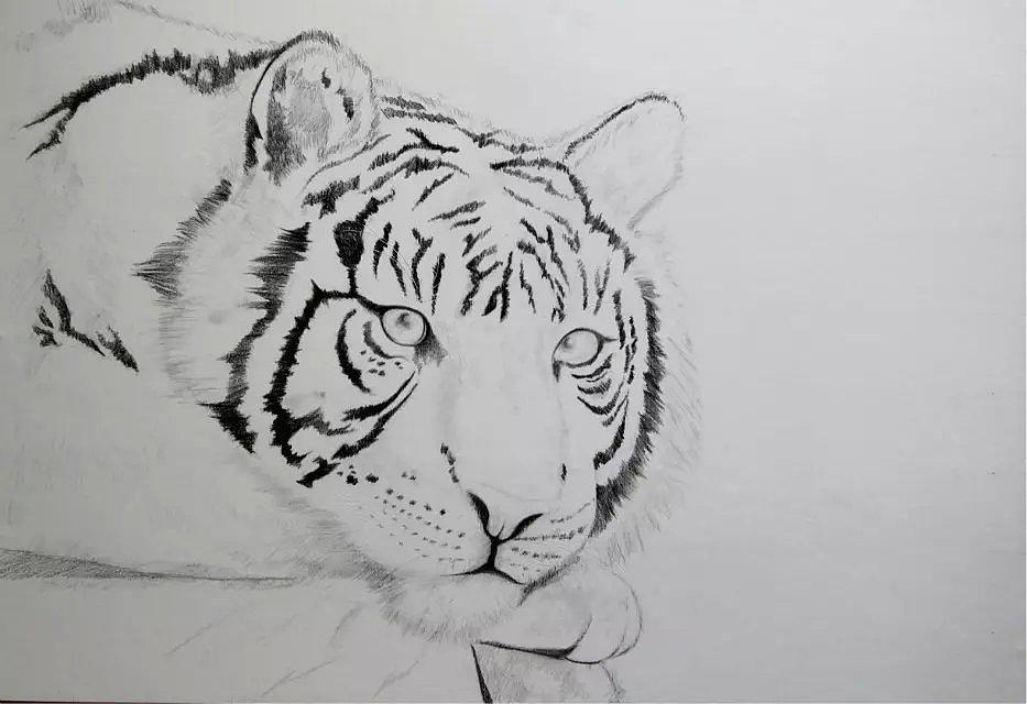 彩铅习作《虎》 其他 其他 天宝手绘 - 原创作品