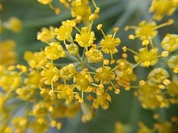 小茴香开花