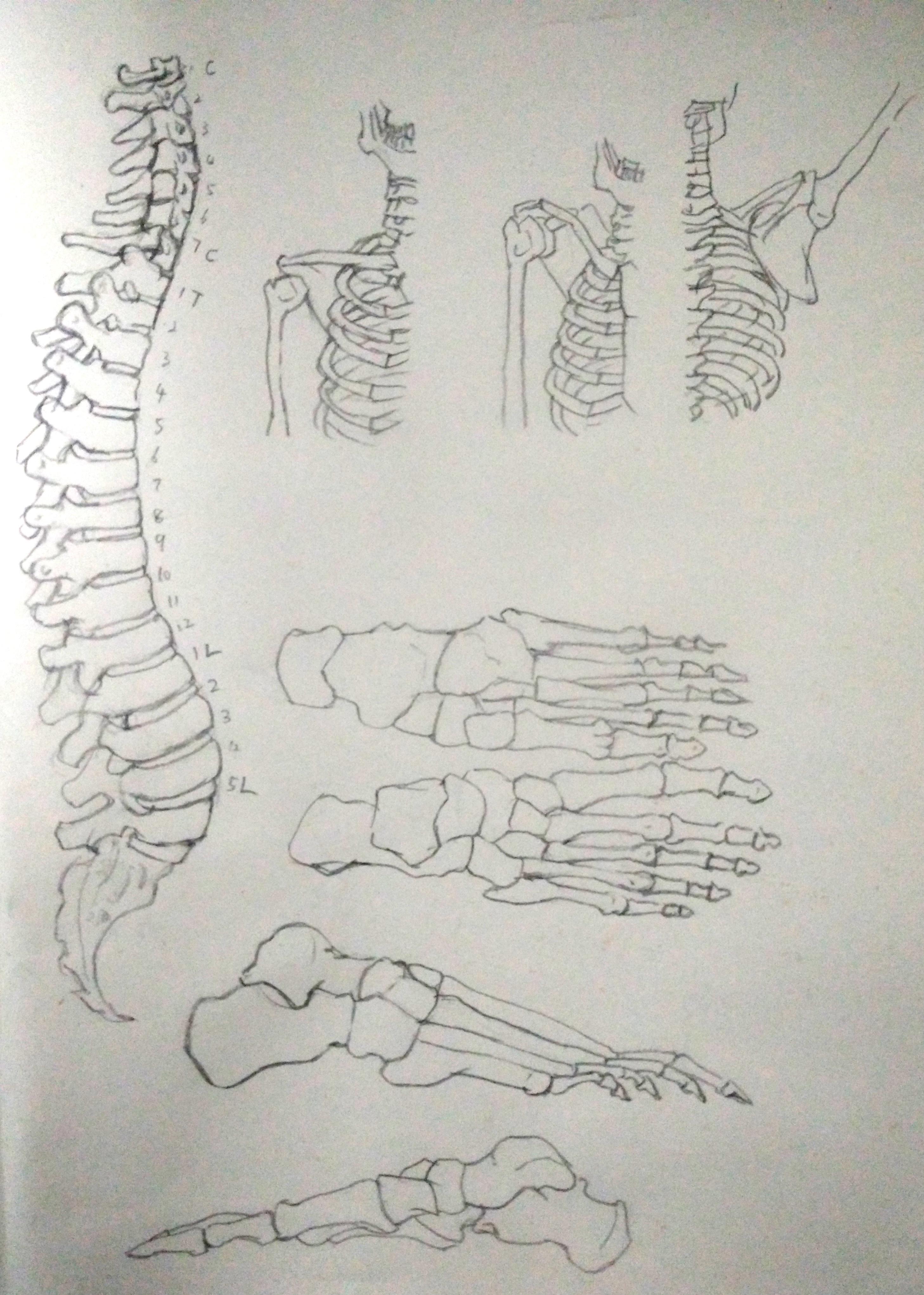 骨骼结构练习