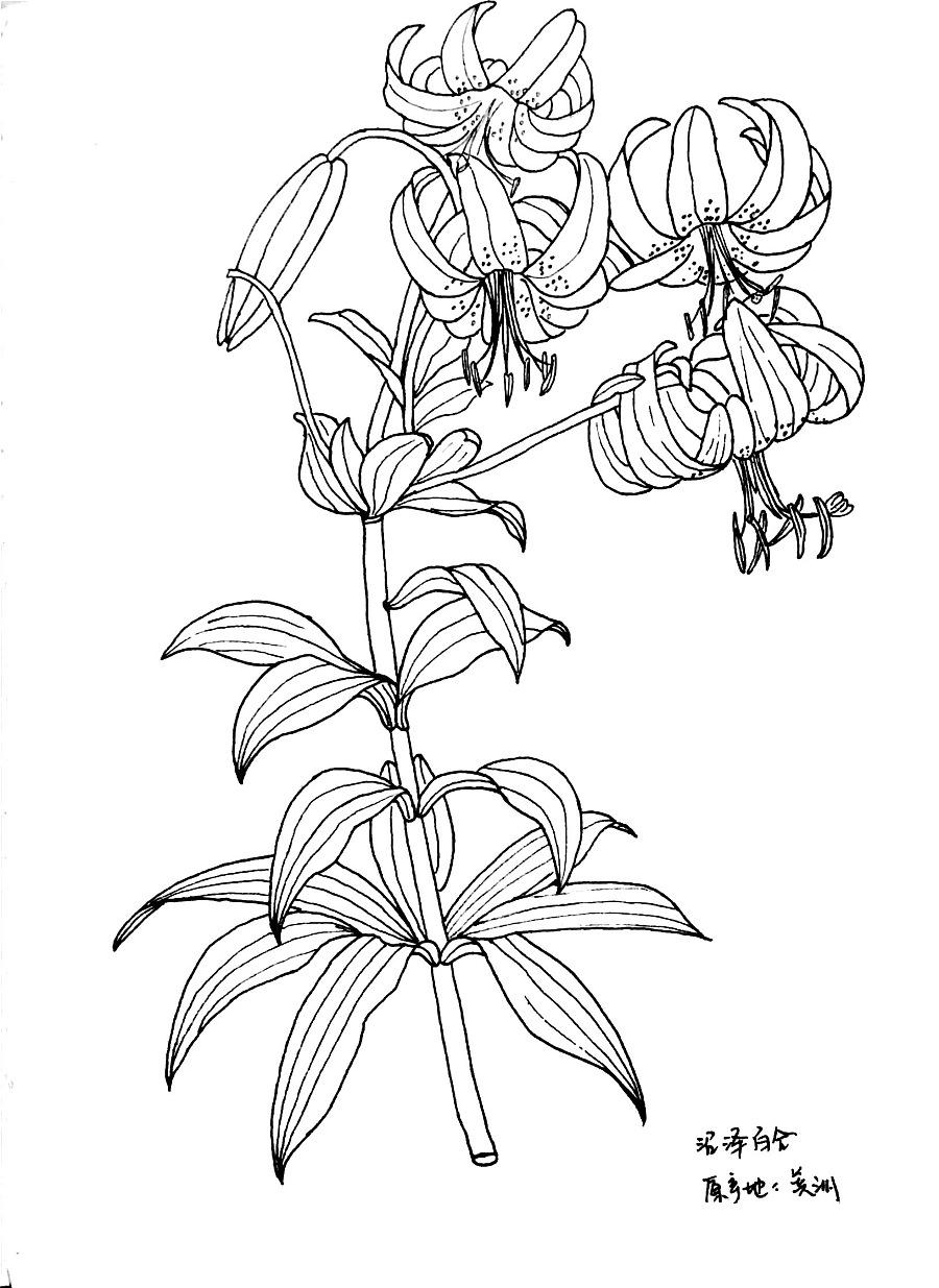 手绘百合集1|绘画习作|插画|大果冻小葫芦 - 原创设计