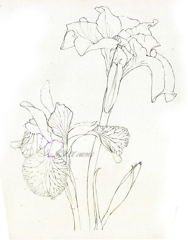 【彩铅花卉】鸢尾花