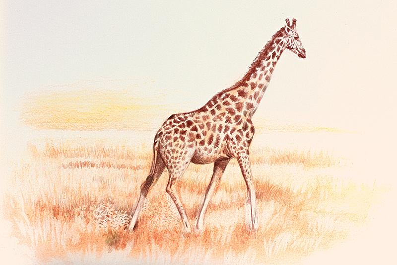 长颈鹿彩铅画_OY手绘:长颈鹿|纯艺术|彩铅|欧阳鹏杰_OY - 原创作品 - 站酷 (ZCOOL)