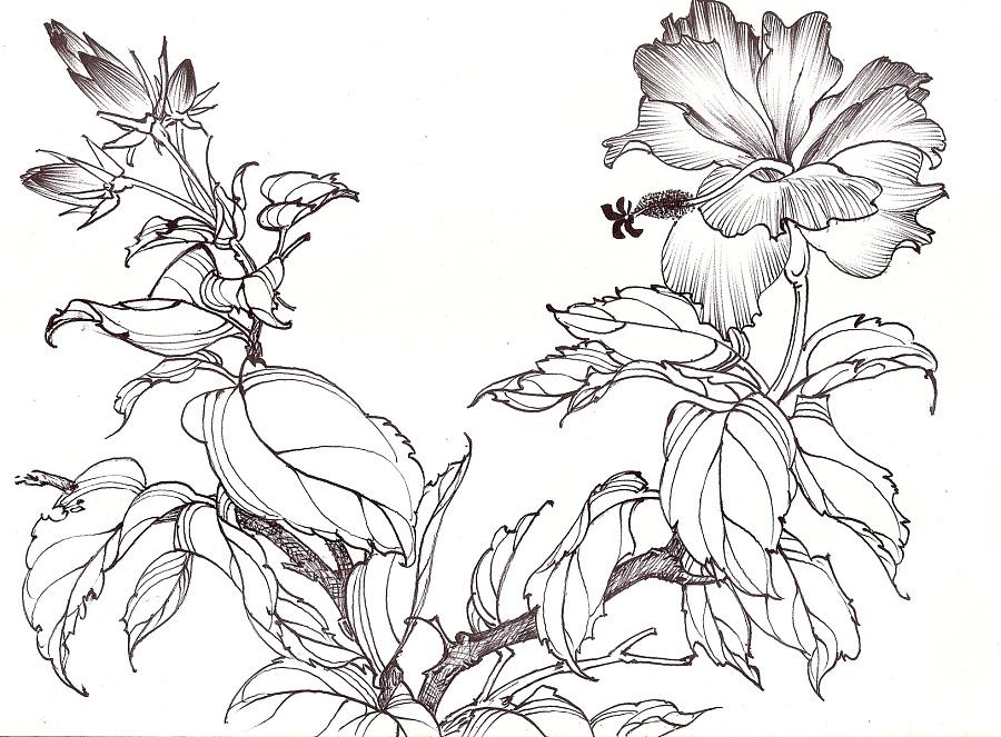 用钢笔和圆珠笔勾画的花鸟画白描稿