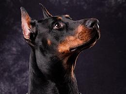 杜宾犬肖像   Jason