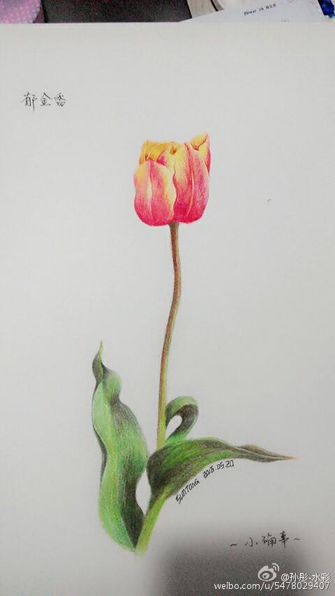 手绘彩铅郁金香|绘画习作|插画|sun彤